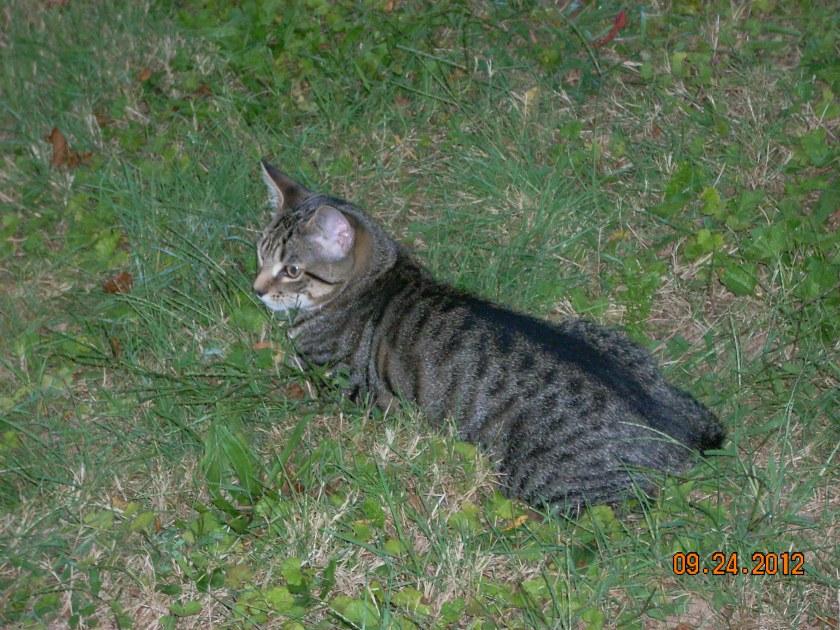 it's a tiger kitty kat